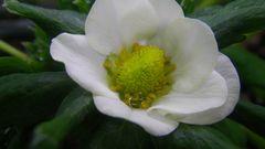 [写真]かなみひめの一番花