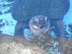 [写真]水面から半分顔をだしてこちらをみているカメのクロちゃん