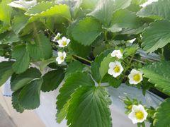 [写真]花を次々咲かせているおいCベリー(マルチ張り作業後)