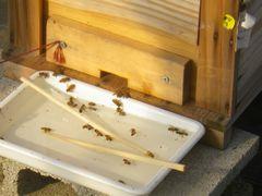 [写真]巣箱の前に置いた砂糖水を飲んでいるミツバチ達の様子