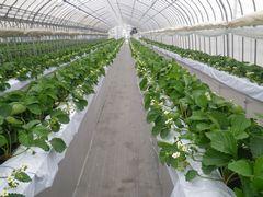 [写真]葉よせ作業後、白い花をつけた果房が並んでいる様子