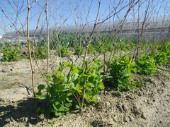 [写真]三郎畑のサヤエンドウに竹の支柱をたてかけたところ