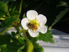 [写真]ミツバチがイチゴの花の花粉を集めているところ