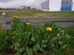 [写真]受付ハウス前の花壇に咲き始めた黄色のキンセンカ