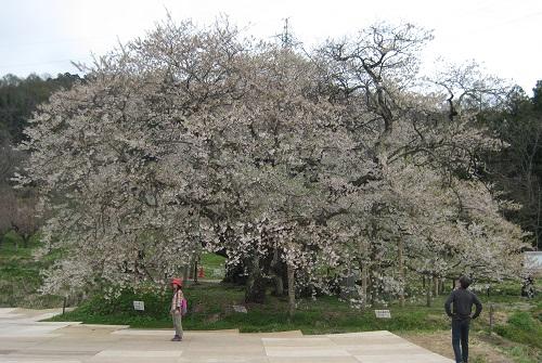 八重の桜の桜1