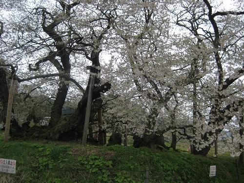 八重の桜の桜2