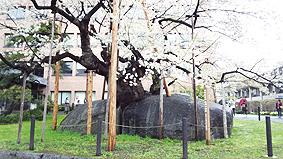 石割桜20130514