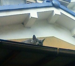 シーサーな猫