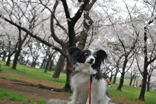桜をバックに1