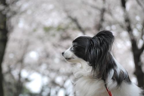 桜をバックに横顔