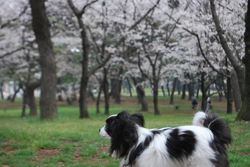 桜をバックにたたずむルビー