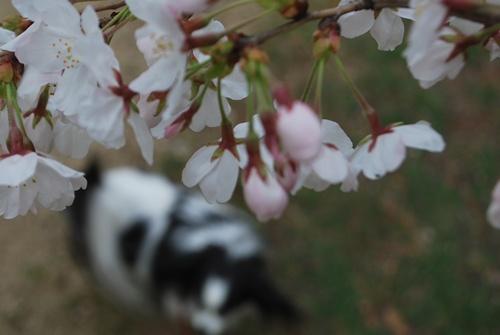 桜の下にぼかしたルビー