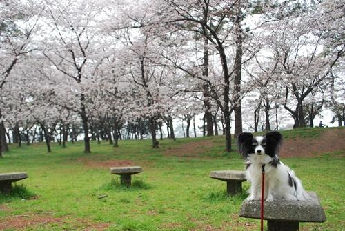 桜並木をバックにお座りルビー