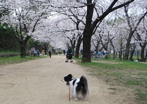 桜のトンネルも見頃