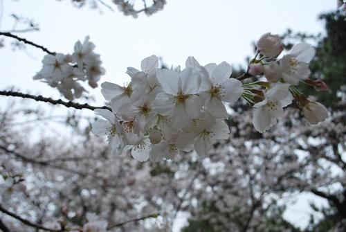 逆光で透き通る桜