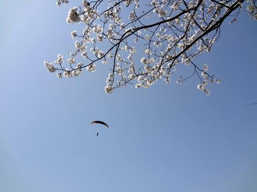 桜とパラグライダー