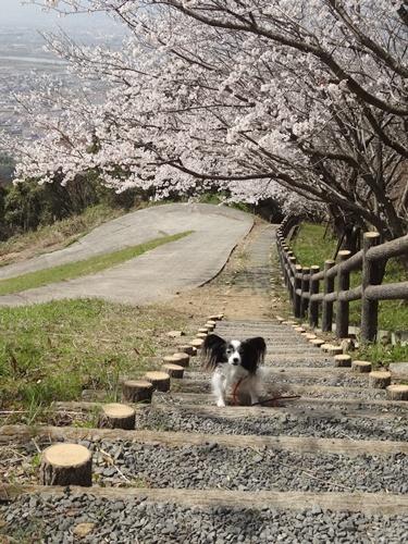 桜の階段で