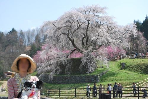 又兵衛桜をバックに記念撮影