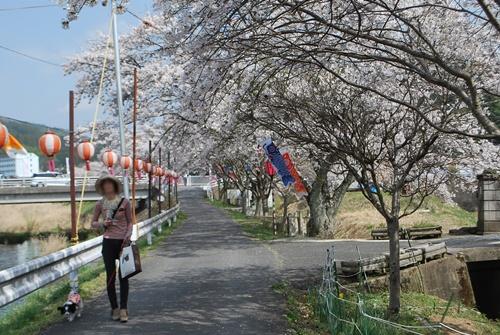 宇陀川沿い水分の桜1