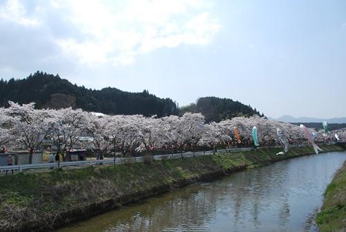 宇陀川沿い水分の桜2