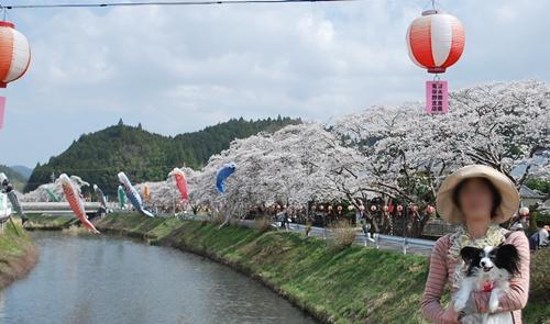 宇陀川沿い水分の桜3