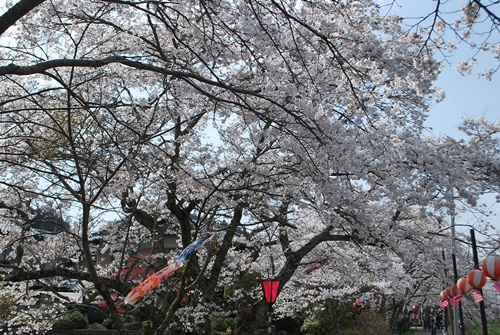 宇陀川沿い水分の桜4