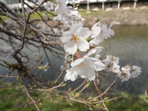 宇陀川沿い水分の桜アップ