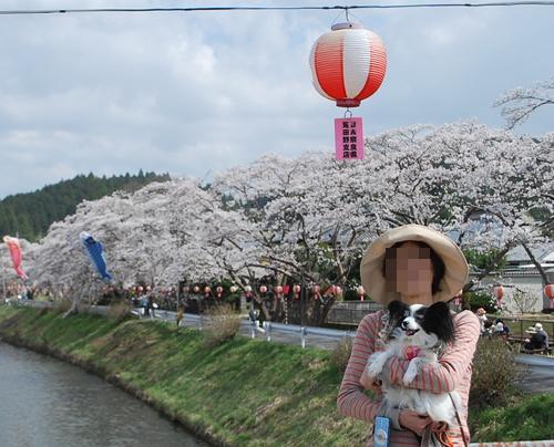 宇陀川沿い水分の桜ルビー抱っこ2