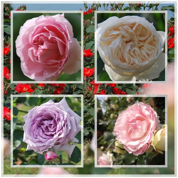 バラ4種アップ