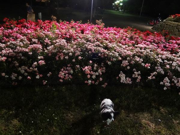 バラの花壇をバックに
