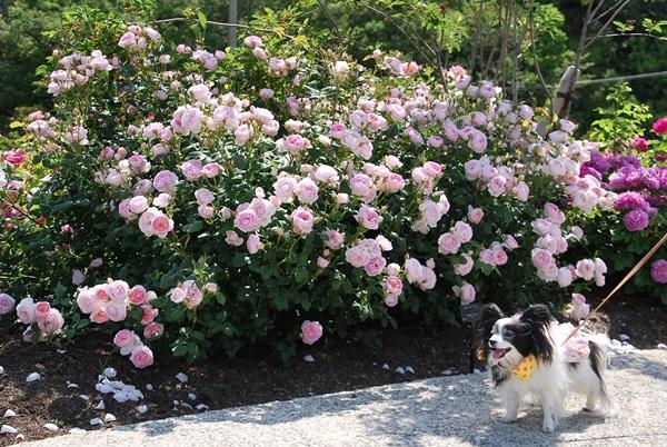 ピンクのバラと