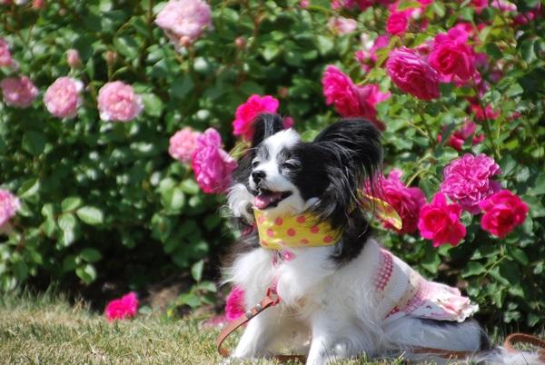 ピンクのバラをバックにルビー