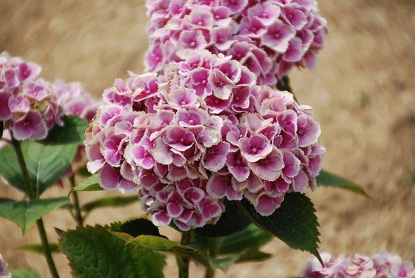 縁取りの紫陽花