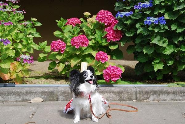 紫陽花とルビー