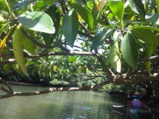 カヤックで西表島のジャングルへ 1