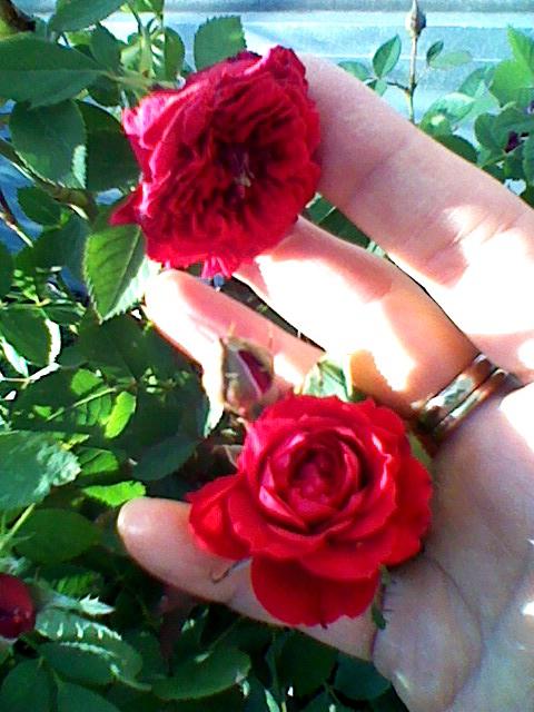 屋上のバラ