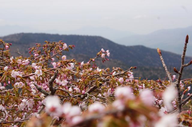 草津白根山の六月桜