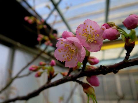 07初御代桜はつみよざくら