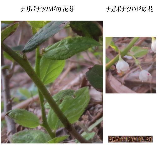 20141107撮影_9897(花芽と花)