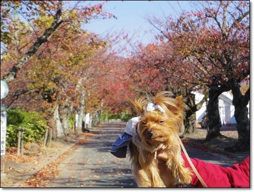 桜IMGP1691-20141115
