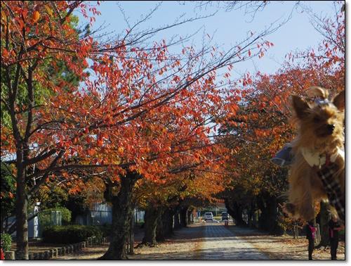 桜IMGP1694-20141115