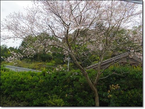 四季桜IMGP1695-20141115