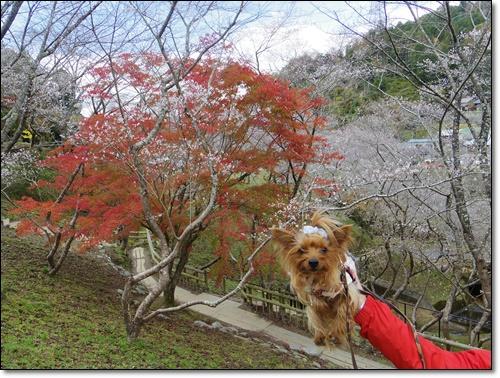 四季桜IMGP1696-20141115