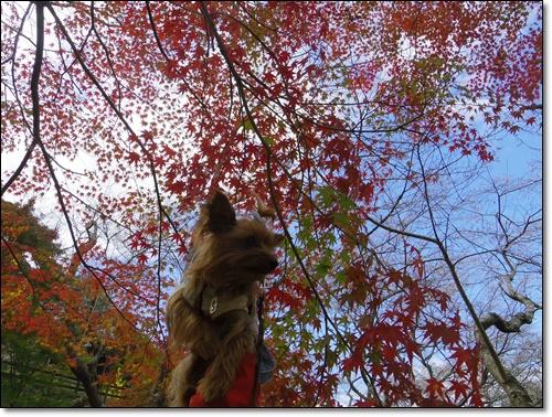 四季桜IMGP1697-20141115