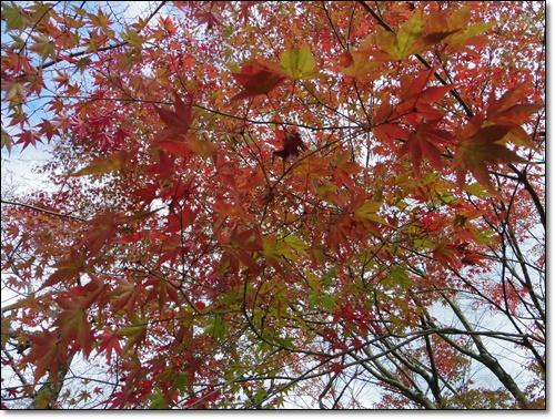 四季桜IMGP1699-20141115