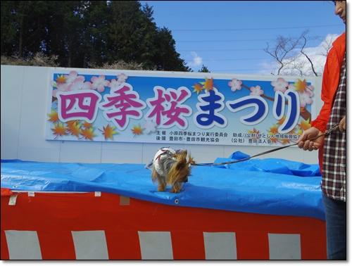 四季桜IMGP1700-20141115