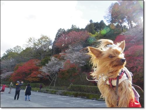 四季桜IMGP1702-20141115