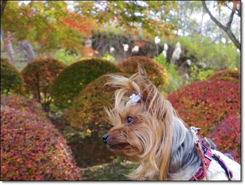 四季桜IMGP1713-20141115