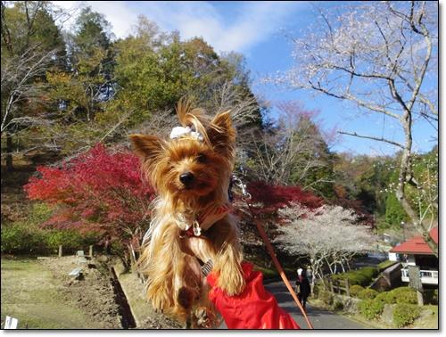 四季桜IMGP1715-20141115