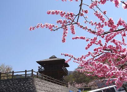 桃の里一宮金沢桃の花-1